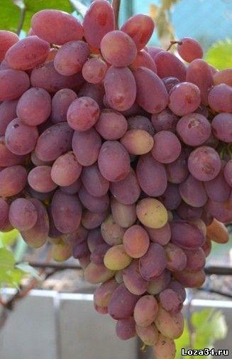 виноград потомок ризамата фото описание